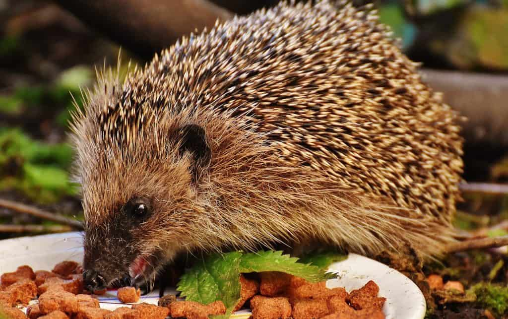 What do pygmy hedgehogs eat